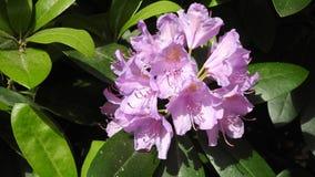 rododendri Immagine Stock Libera da Diritti
