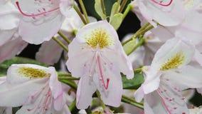 rododendri Fotografie Stock