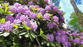 rododendri Immagine Stock