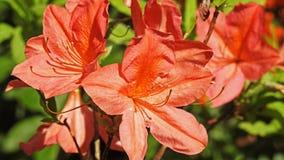 rododendri Fotografia Stock Libera da Diritti