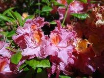 Rododendri di fioritura nel parco finlandese Immagine Stock