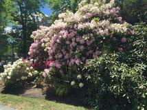 Rododendri in giardino pubblico Halifax NS fotografia stock libera da diritti