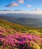 Rododendri rosa meravigliosi sulle montagne Fotografia Stock Libera da Diritti