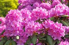 rododendri sboccianti Fotografia Stock