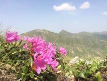 rododendro Imágenes de archivo libres de regalías
