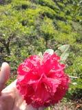 rododendro immagini stock libere da diritti
