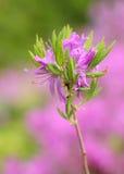 Rododendro Foto de archivo libre de regalías