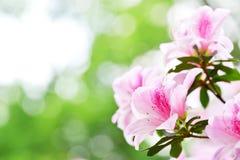 Rododendro 2 dell'azalea fotografia stock