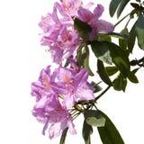 Rododendro Fotografie Stock Libere da Diritti