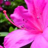 Rododendro Fotografia de Stock