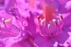 Rododendro. Immagini Stock
