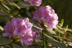 rododendro Fotografia Stock