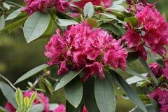 rododendro Fotografía de archivo libre de regalías