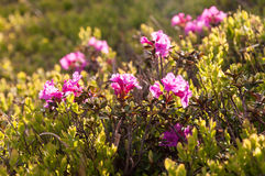 rododendro Immagine Stock