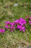 rododendro Fotos de archivo libres de regalías