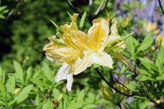 Rododendro amarelo Foto de Stock