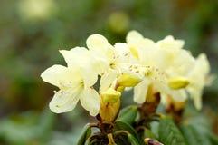 Rododendro Aureum Imagen de archivo libre de regalías