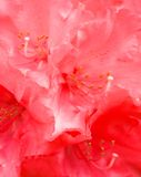 Rododendro BG 1 Fotos de archivo libres de regalías
