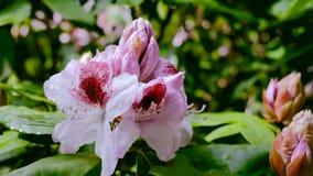 Rododendro bianco nel giardino La macchina fotografica si spost indietroare sul cursore Correzione di colore video d archivio