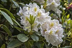 Rododendro blanco floreciente Fotografía de archivo