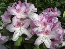 Rododendro branco e luz rosa das flores closeup Foto de Stock