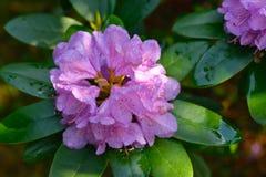 Rododendro com gotas da água Fotografia de Stock Royalty Free