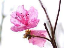 Festival de Sakura, parque de VanDusen, Van Imagem de Stock Royalty Free