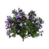 rododendro da rendição 3D no branco Foto de Stock Royalty Free
