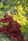 Rododendro de color rojo oscuro con verdor Fotos de archivo