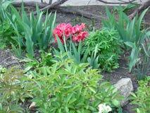 Rododendro de florescência da cor vermelha Fotos de Stock Royalty Free