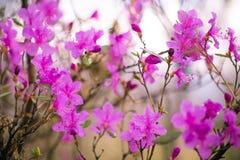 Rododendro de florescência em Sibéria Fotos de Stock
