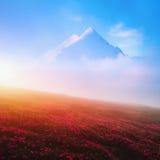 Rododendro de florescência nas montanhas altas Imagem de Stock Royalty Free