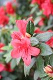 Rododendro de la azalea Fotos de archivo libres de regalías