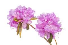 Rododendro de PJM Imagenes de archivo