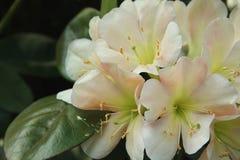 Rododendro de Vireya Fotografia de Stock