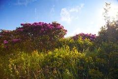 Rododendro del Catawba Fotos de archivo