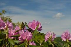 Rododendro del Catawba fotografía de archivo