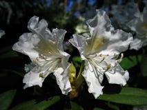 Rododendro del fiore fotografia stock libera da diritti