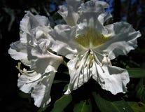 Rododendro del fiore fotografie stock libere da diritti