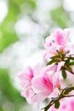 Rododendro dell'azalea immagini stock libere da diritti