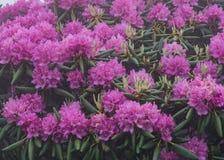 Rododendro densamente em Bush Foto de Stock Royalty Free