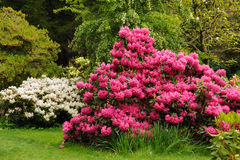 Rododendro dentellare Fotografie Stock