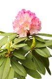 Rododendro dentellare Immagine Stock Libera da Diritti