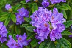rododendro di fioritura Immagine Stock Libera da Diritti