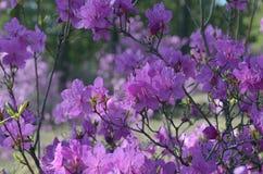Rododendro di fioritura Bush Immagini Stock