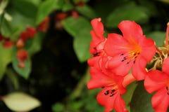 Rododendro di Vireya Fotografie Stock