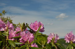 Rododendro do Catawba Fotografia de Stock
