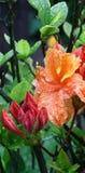 Rododendro dopo una pioggia. Fotografia Stock