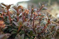 Rododendro el noviembre Foto de archivo libre de regalías