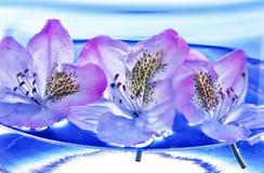 Rododendro - fiori immagine stock libera da diritti